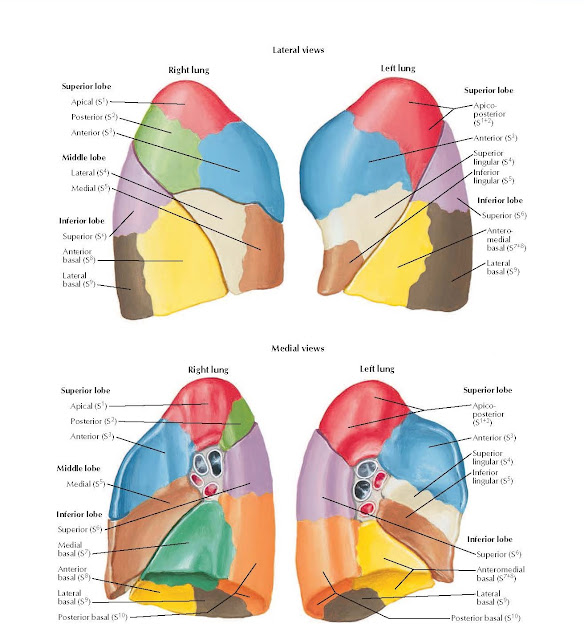 Bronchopulmonary Segments Anatomy (continued)  Lateral views  Right lung Left lung, Superior lobe, Apical (S1) Posterior (S2) Anterior (S3), Middle lobe Lateral (S4) Medial (S5), Inferior lobe, Superior (S6), Anterior basal (S8), Lateral basal (S9), Superior lobe, Apico-posterior (S1+2), Anterior (S3), Superior lingular (S4), Inferior lingular (S5), Inferior lobe, Superior (S6), Antero- medial basal (S7+8), Lateral basal (S9),  Medial views, Right lung Left lung, Superior lobe, Apical (S1) Posterior (S2) Anterior (S3), Middle lobe, Medial (S5), Inferior lobe, Superior (S6), Medial basal (S7), Anterior basal (S8), Lateral basal (S9), Posterior basal (S10), Superior lobe, Apico- posterior (S1+2), Anterior (S3), Superior lingular (S4), Inferior lingular (S5), Inferior lobe, Superior (S6), Anteromedial basal (S7+8), Lateral basal (S9), Posterior basal (S10).