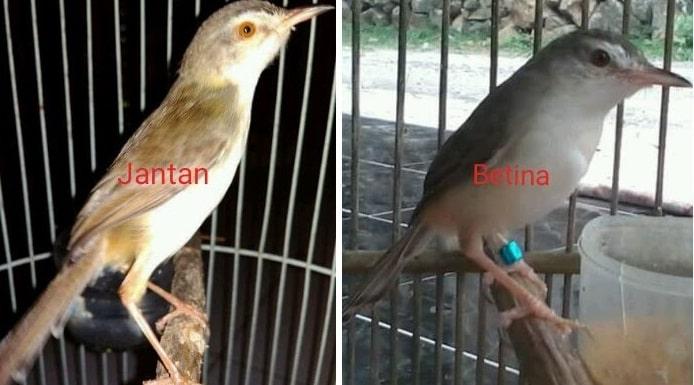 Burung Ciblek Sawah Jantan