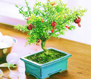 Pomegranate-tree-care