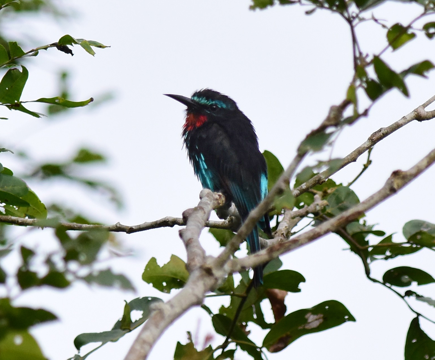 Zoothera Birding Blog The Day Of The Picathartes