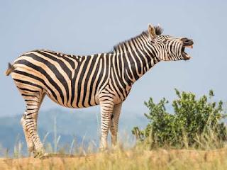 Facts of Zebra #4