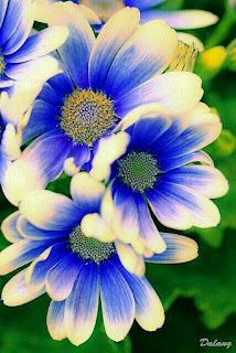 gerbera-de-color-azul-y-borde-amarillo