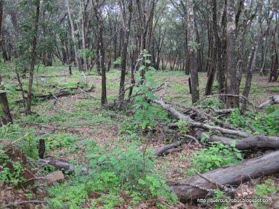 Cerro Viejo - Bosque de encino a ~2300 msnm