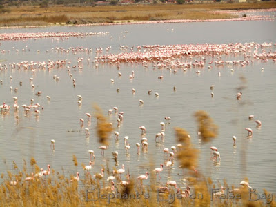 Flamingoes at Kamfers Dam at Kimberley in September