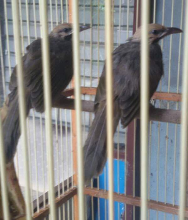Menghasilkan Banyak Uang Dari Beternak Burung Cucak Rawa Straw Headed Bulbul Tips Dan Bisnis Seputar Burung