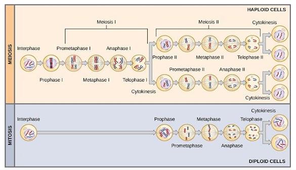 Perbedaan Mitosis dan Meiosis Dalam Bentuk Tabel