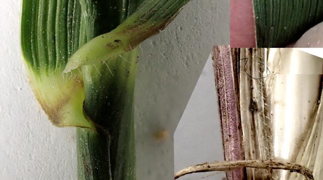 Scheconorus (Festuca) arundinacea