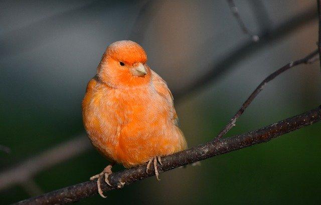 صورة طائر كناري أحمر أو ما يسمى بكناري العامل الأحمر أو canary red factor طيور الكناري