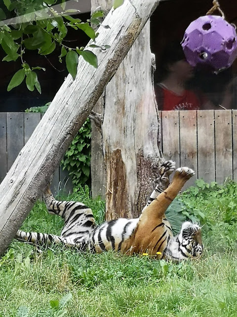 Tiger playing