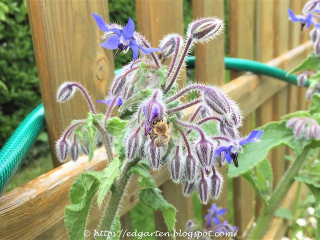 Blühender Borretsch mit Biene