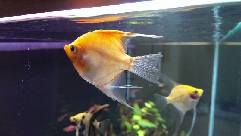 cara mengobati ikan sakit