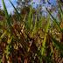Grama-do-cerrado resiste à seca no Pantanal
