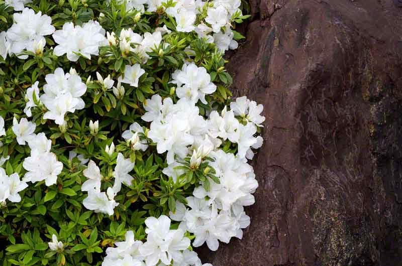 White Azalea, flowers,rock