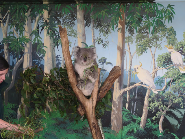 Koala,  Maru Koala and Animal Park, melbourne, australia