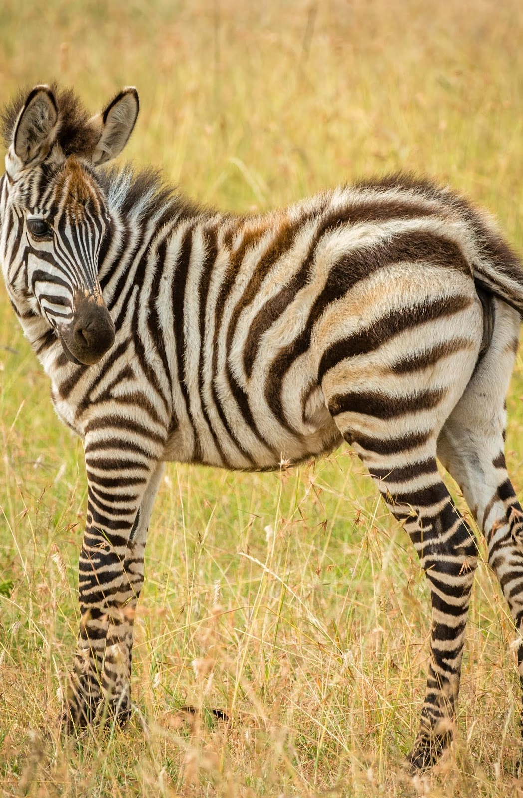 Young zebra - About Wild Animals