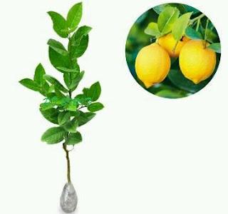 bibit-jeruk-lemon-tea.jpg