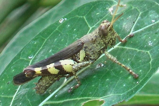 Dlium Krasak grasshopper (Xenocatantops brachycerus)