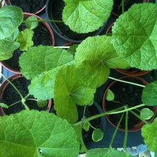 herb garden, herbs as medicine, gardening