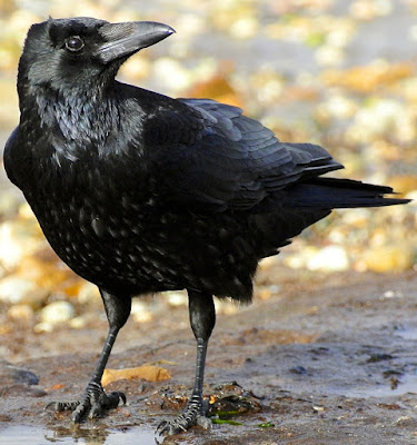 कौवे के बारे में रोचक तथ्य और जानकारी | Crow In Hindi : Facts And Information