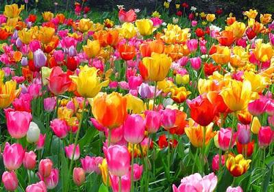 Bunga Indah Tulip Belanda