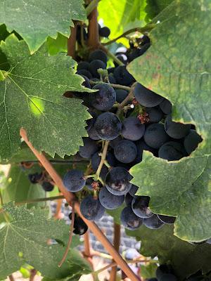 Cabernet Sauvignon grapes at Porter Family Vineyards