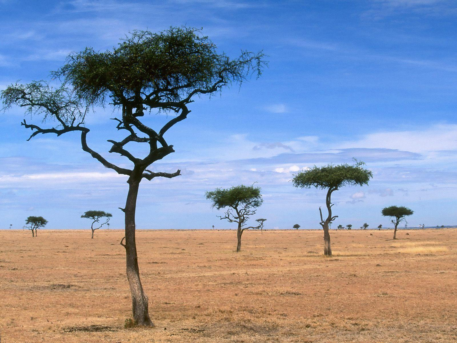 Scattered Acacia Trees / Kenya / Africa wallpapers and image