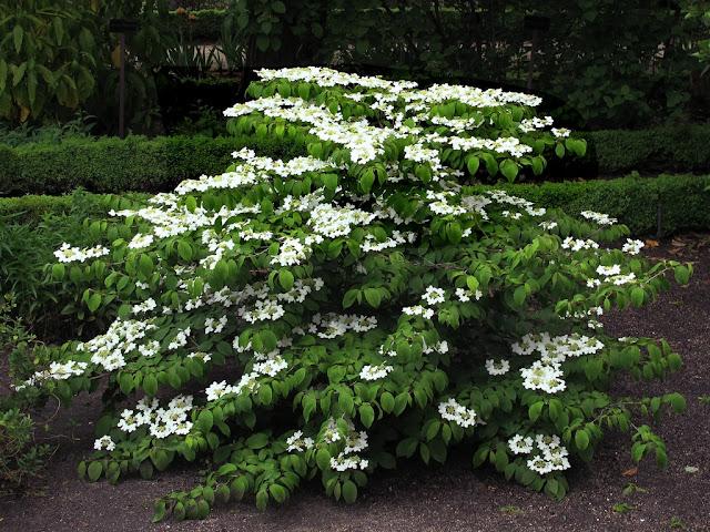 Viburnums Can Provide Plenty of Interest in the Garden