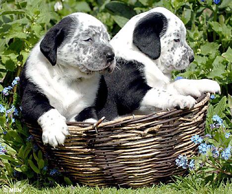 Kudla Bluez: cheap dogs | cheap dogs for sale | dogs 4 sale
