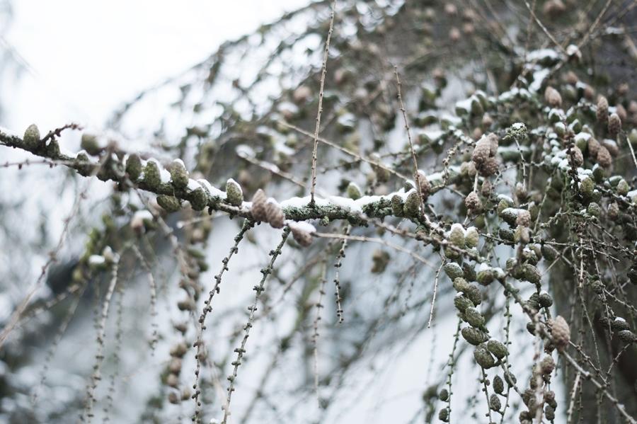 Blog + Fotografie by it's me! - Draussen - Frau Frieda sucht Schnee, verschneiter Lärchenzweig