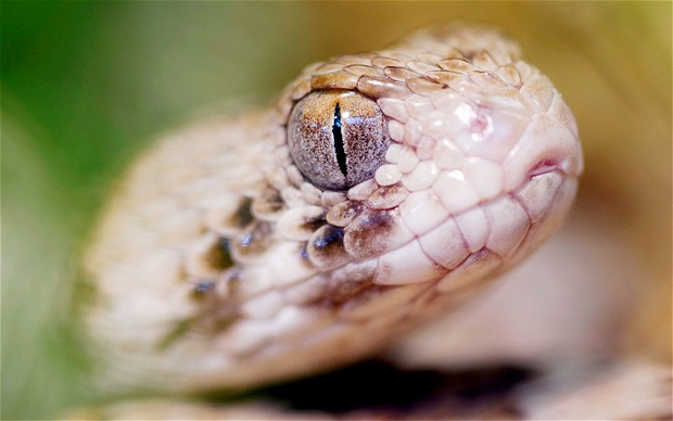 Snake Eyes Hd Wallpapers Snakes Snakes Teeth