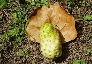 Manfaat tersembunyi buah mengkudu