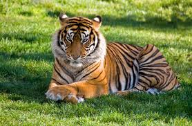 National animal of India. India ka national animal. Tiger image. Image.