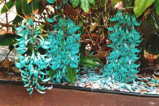 Jade Vine Strongylodon macrobotrys | Garden Bible