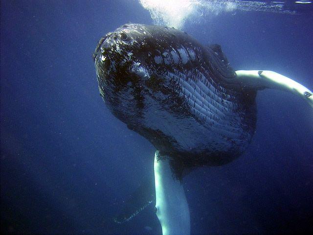 Las ballenas sufren mucho menos de cáncer