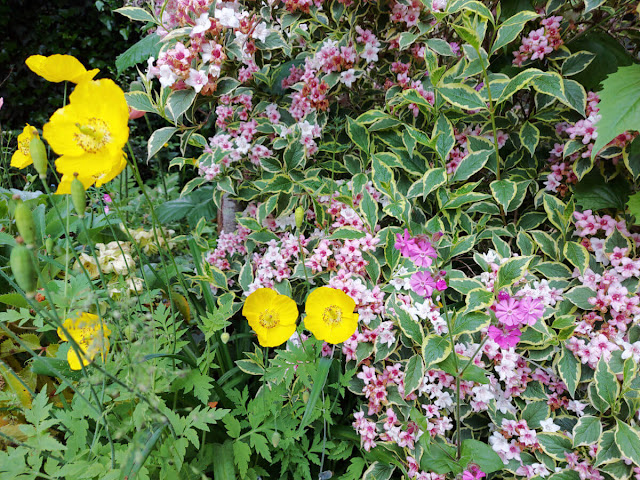 Yellow Welsh poppy flowers in a garden border with pink Weigela flowers with variegated green and white leaves