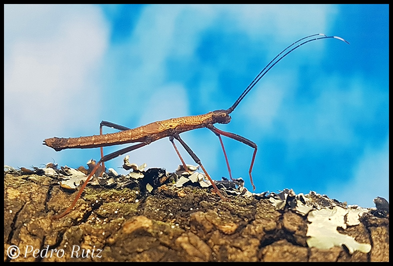 "Ninfa macho L4 de Pseudophasma scabriusculum ""Panguana"", 2,8 cm de longitud"