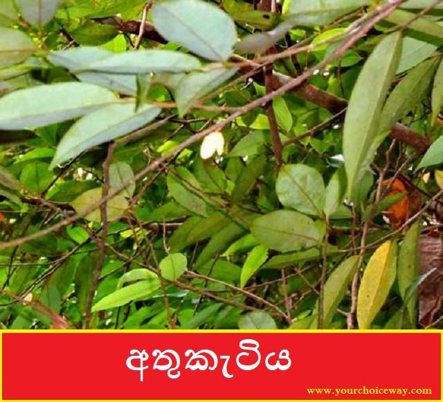 අතුකැටිය (Xylopia Parviflora) - Your Choice Way
