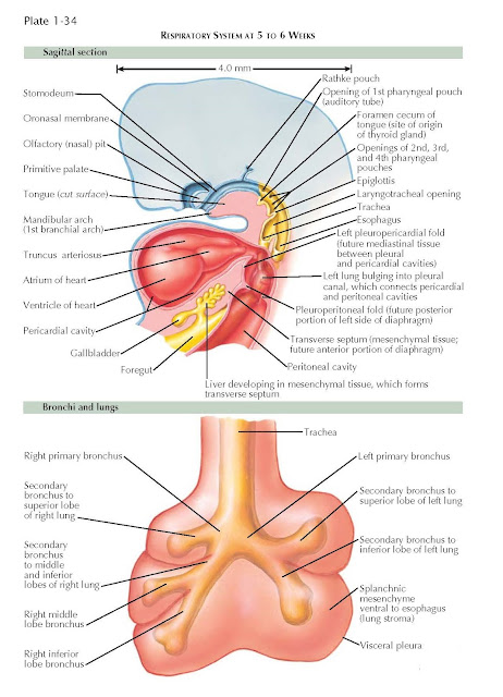 RESPIRATORY SYSTEM AT 5 TO 6 WEEKS