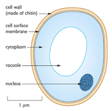 fungal cell diagram labeled cell label diagram fungus