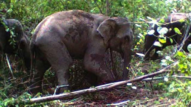 Sekelompok gajah liar masih bertahan di perkebunan warga