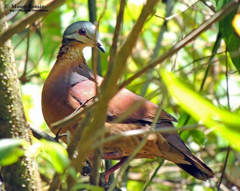 Chiriqui quail dove