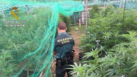 Detenido un vecino de Barro de 48 años que tenía una plantación de marihuana