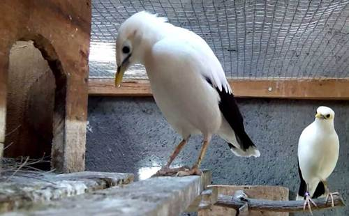adalah salah satu spesies dari sekian banyak spesies burung Jalak yang ada di Indonesia Rajajangkrik-Perlu Anda Tahu 2020, Tips Sukses Beternak Burung Jalak Putih