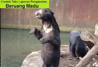 Contoh Teks Laporan Pengamatan Beruang Madu