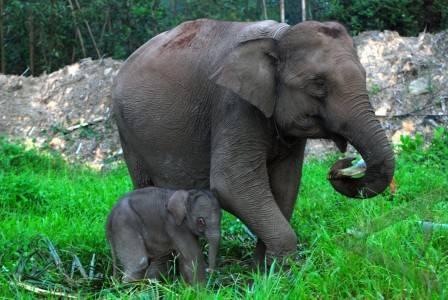 Mengenal Hewan dan Tumbuhan Nama Ilmiah Gajah Sumatera