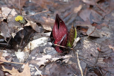 last year's skunk cabbage on March 31