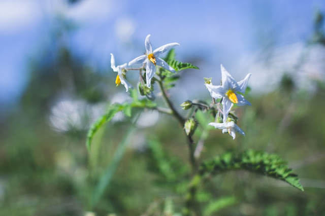 litchi tomato flowers