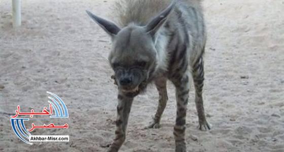 حيوان ضال مفترس
