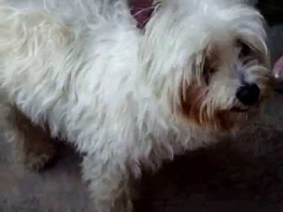 Westie Maltese Mix Temperament, Lifespan, Size, Adoption