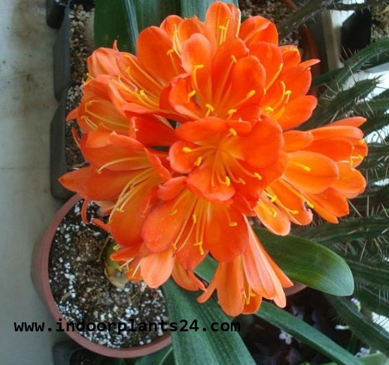 Clivm Miniata Amaryllidaceae ELIVIA Plant